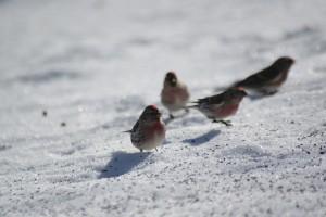 common-redpolls-4-february-2009