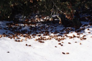 white-winged-crossbill-evidence-of-feeding-on-white-spruce-3-february-2009