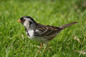 harriss-sparrow-4-5-may-2009