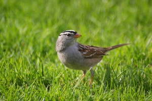 white-crowned-sparrow-4-may-2009