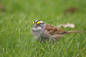 white-throated-sparrow-6-27-april-2009