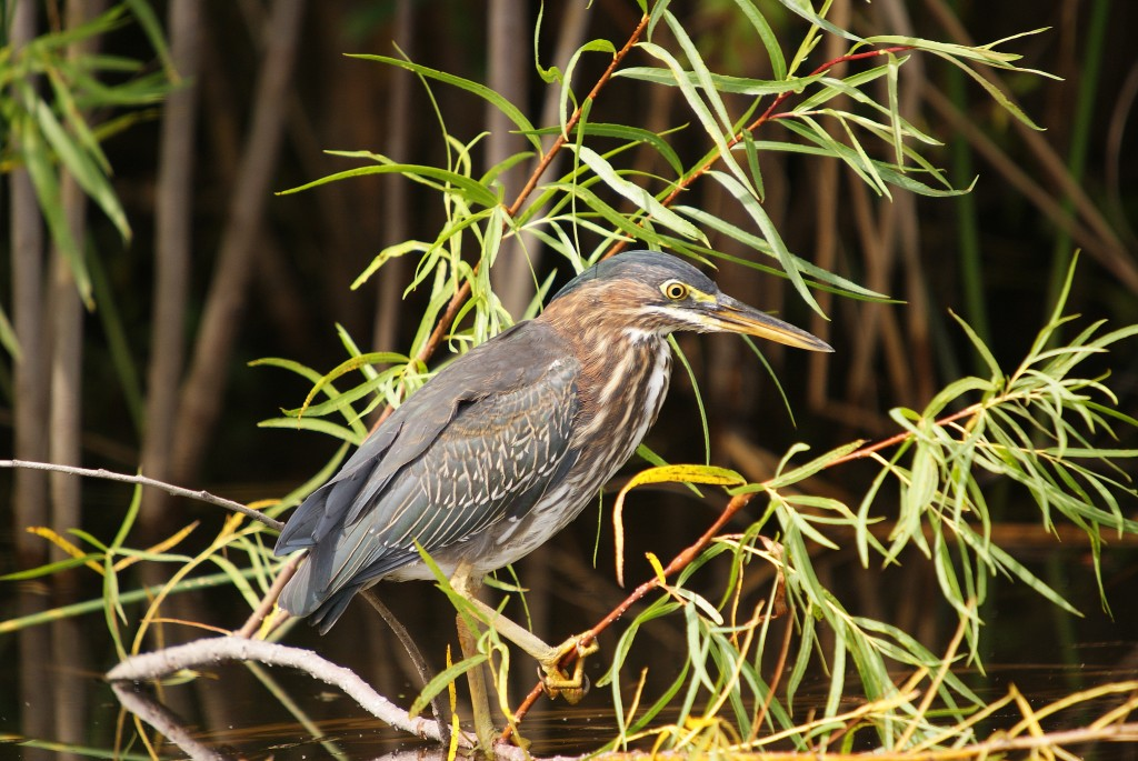 Juvenile Green Heron hunting in Jim Gilbert Teaching Pond, August 26.