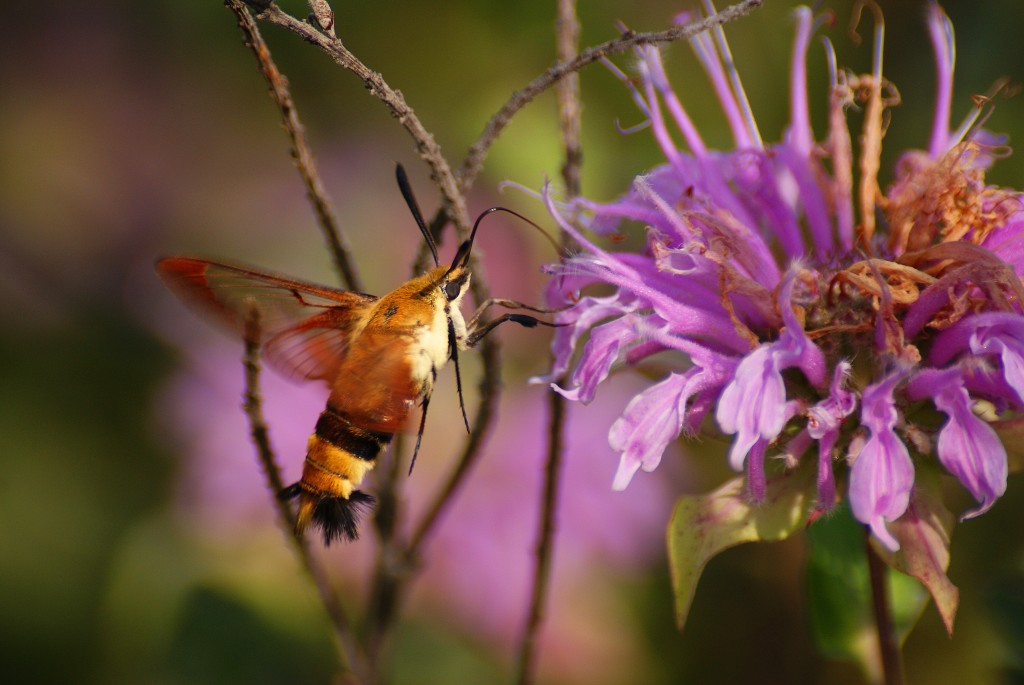 Hummingbird Clearing (a species of moth) nectaring on Wild Bergamot in the Uhler Prairie, August 6.