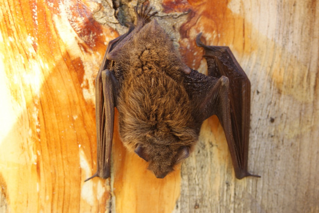 Little Brown Myotis (a species of bat) sleeping near hosta garden behind Interpretive Center, August 17.