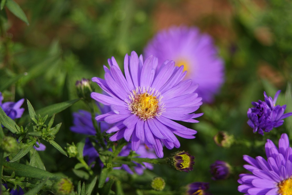 New England Aster blooming in Bird and Butterfly Garden, 9/14/09.