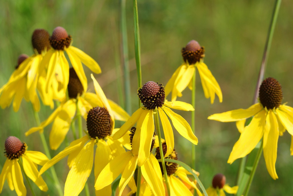 Prairie Coneflower blooming in Uhler Prairie, August 6.
