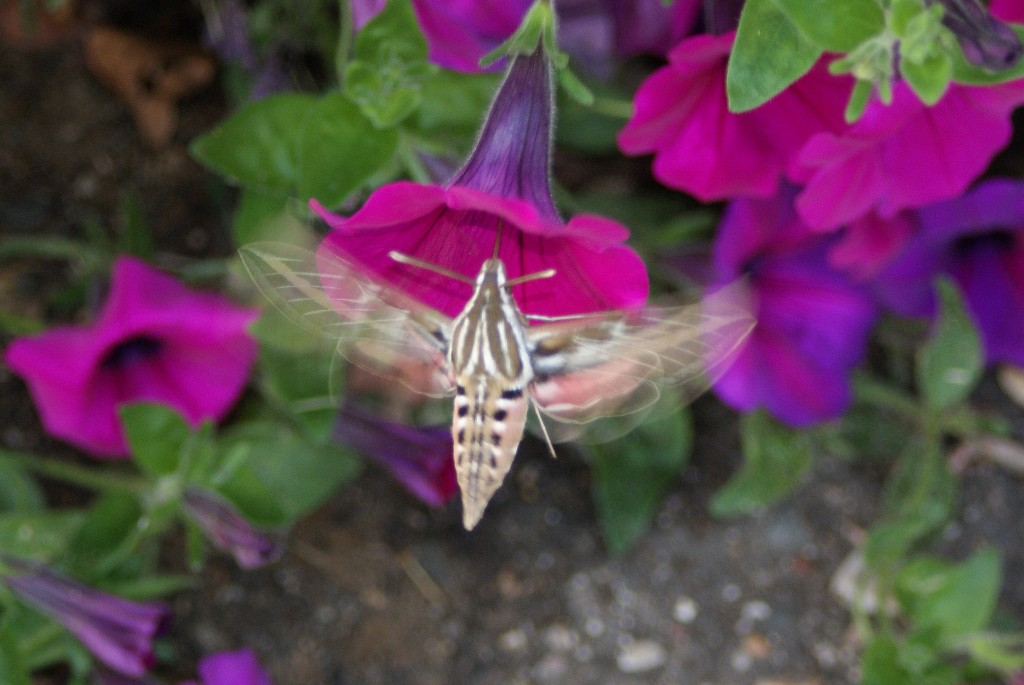 White-lined Sphinx nectaring on petunias in annual graden in front of Interpretive Center, 9/23/09.