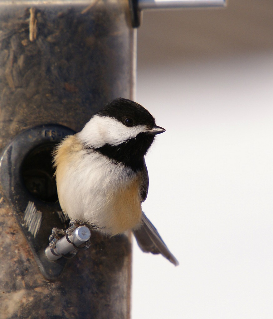 Black-capped Chickadee at sunflower feeder behind Interpretive Center, 12/16/09
