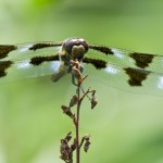 Twelve-spotted Skimmer at rest in Thornberg Garden behind Interpretive Center, 7/26/11.