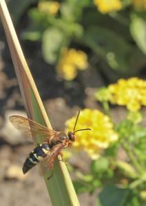 cicada-killer wasp