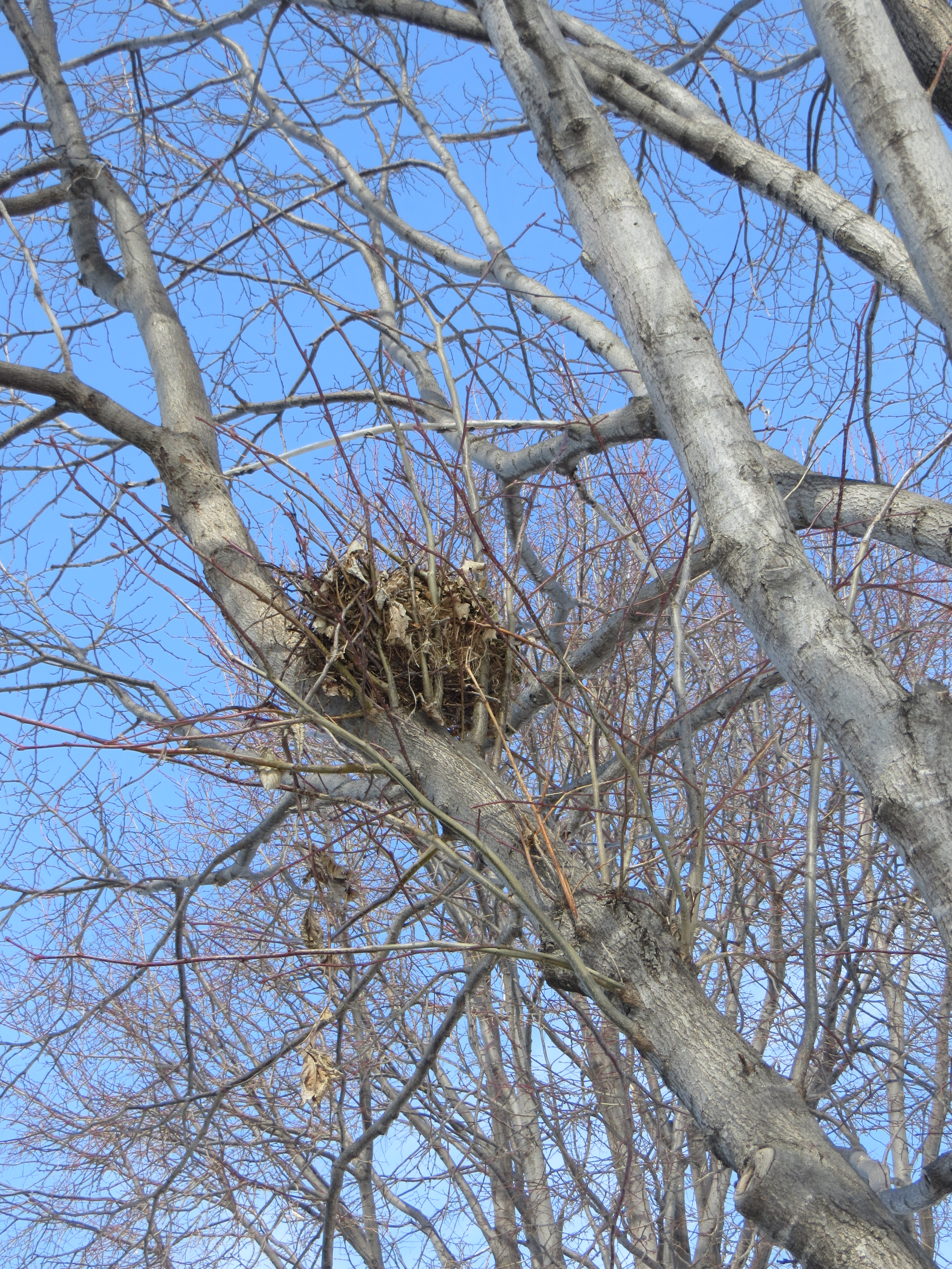 What Is That Clump Of Leaves In The Tree Posted On