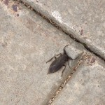 Giant Waterbug found on campus.