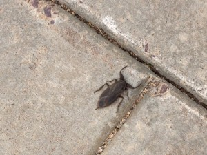 Giant Water Bug found on campus.
