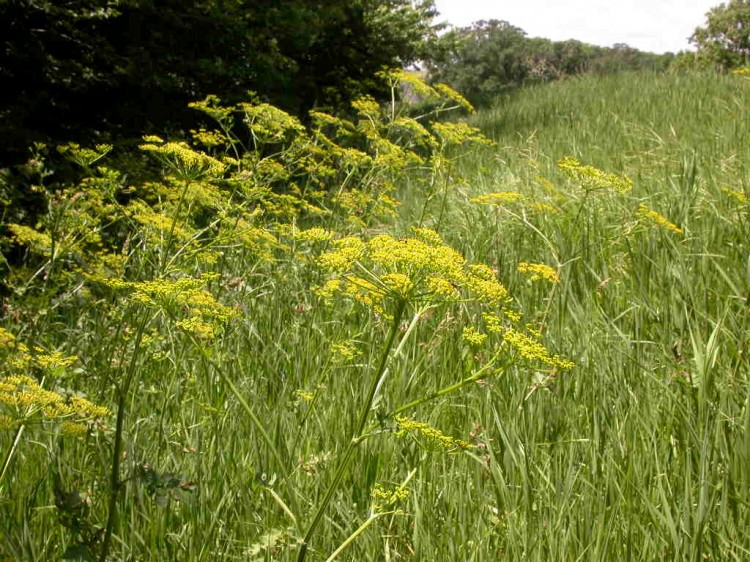 Although it appears harmless this wild parsnip, combined with sunlight, can cause tremendous skin damage to its unsuspecting victims.