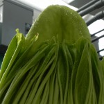 DSCN2310 cr m spadix tip side