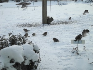 House Sparrow's surrounding the feeder in the back of the Interpretive Center.