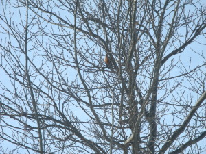 American Robin perches itself high in the tree behind the Interpretive Center.
