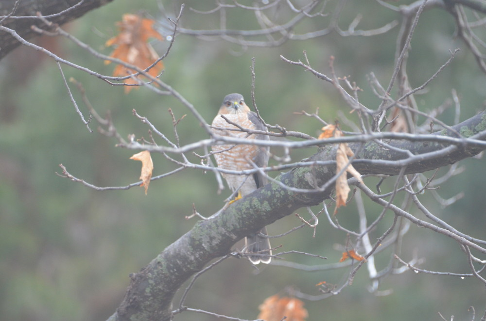 A sharp-shinned hawk waits patiently by the Arboretum birdfeeders recently
